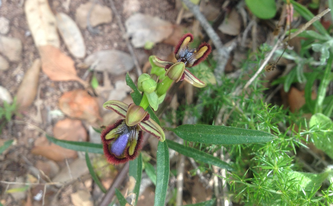 Ophrys speculum Bonnin - Wild orchids – the surprise of the menorcan woods