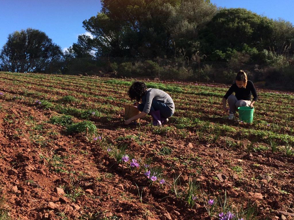 AzafránMenorca2 - The red gold of Menorca